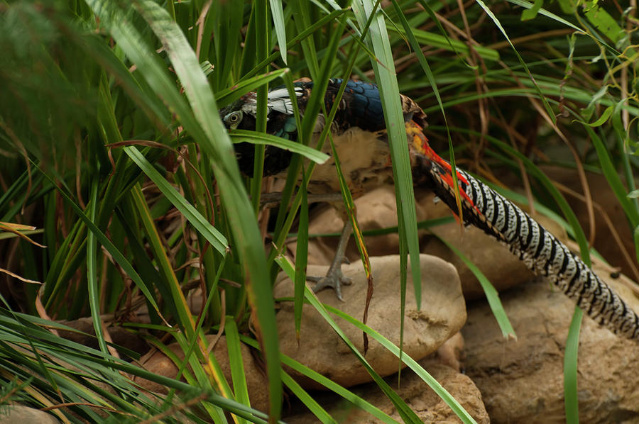 Lady Amherst's Pheasant 003 by Chris Flees