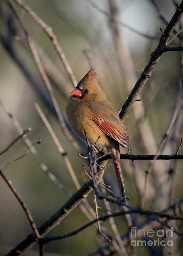 Lady Cardinal by Katie Joya