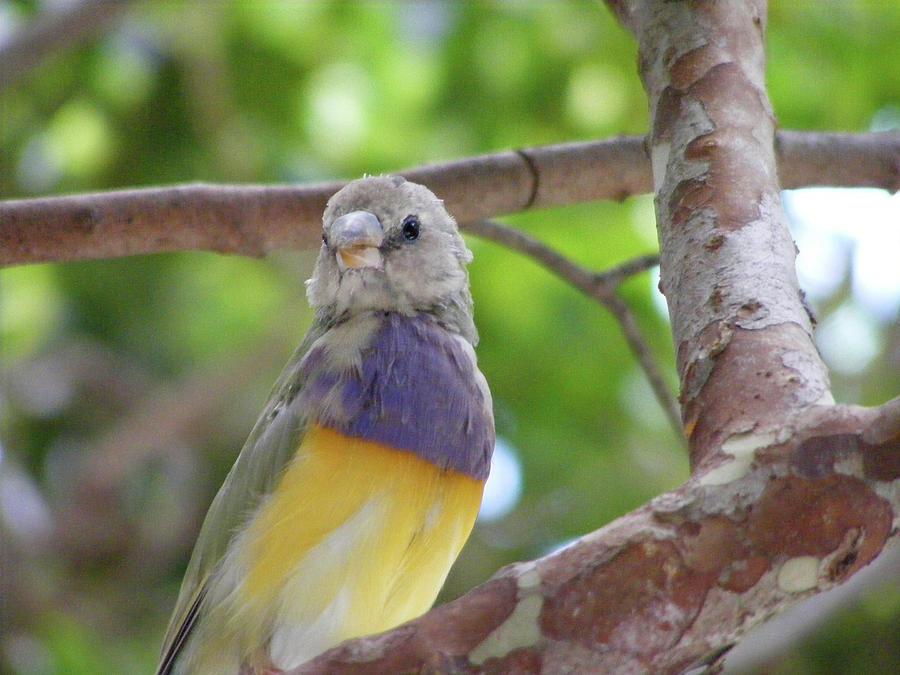 Lady Gouldian Finch Female - DWP090108011 by Dean Wittle