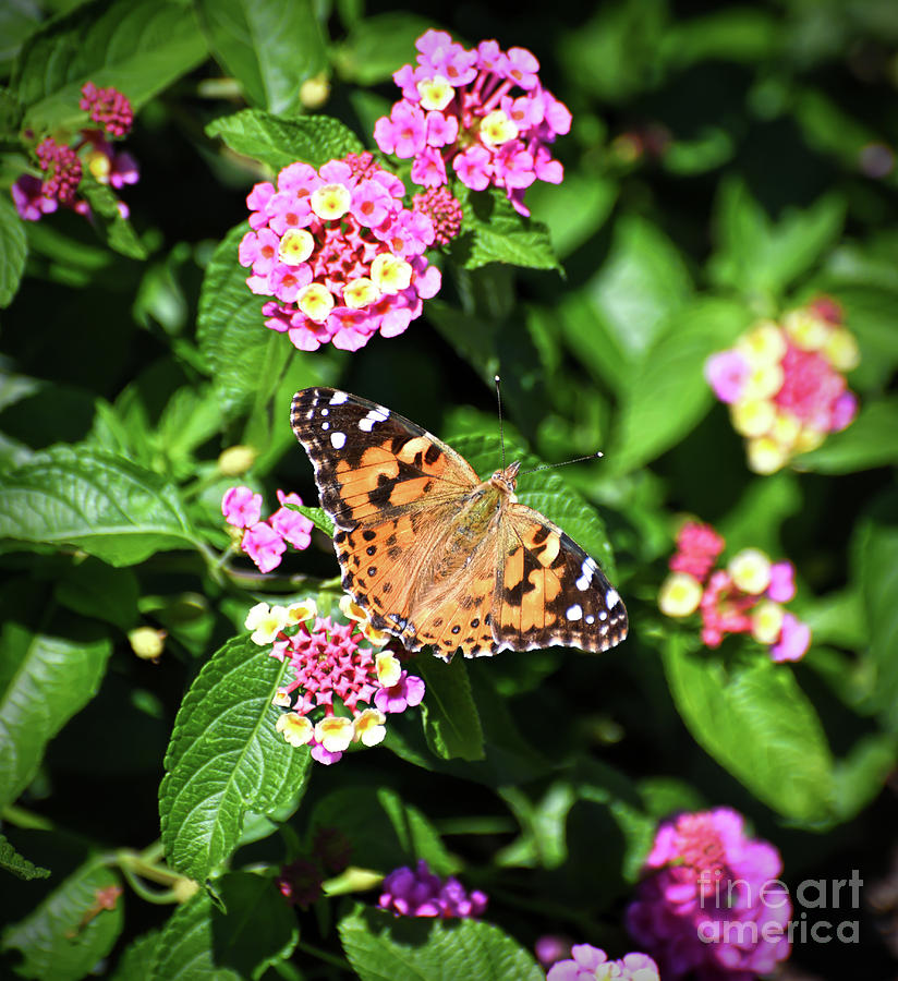 Lady in the Lantana - Painted Lady Butterfly by Kerri Farley