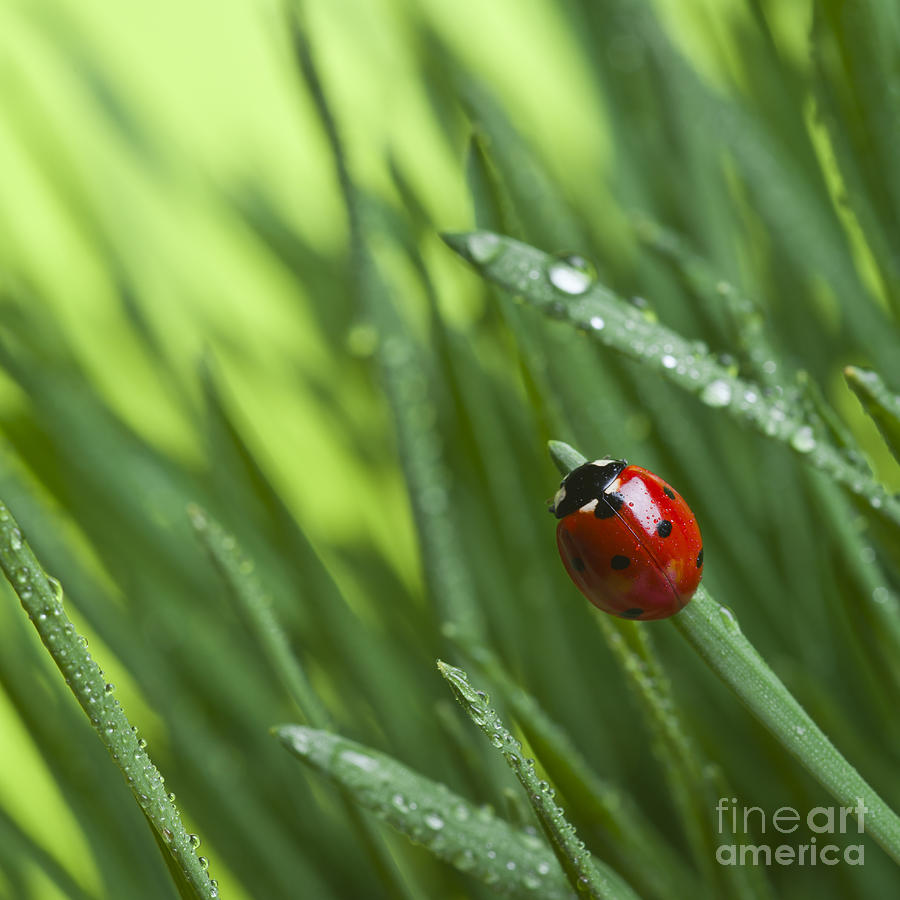 Small Photograph - Ladybird On Grass by Didecs