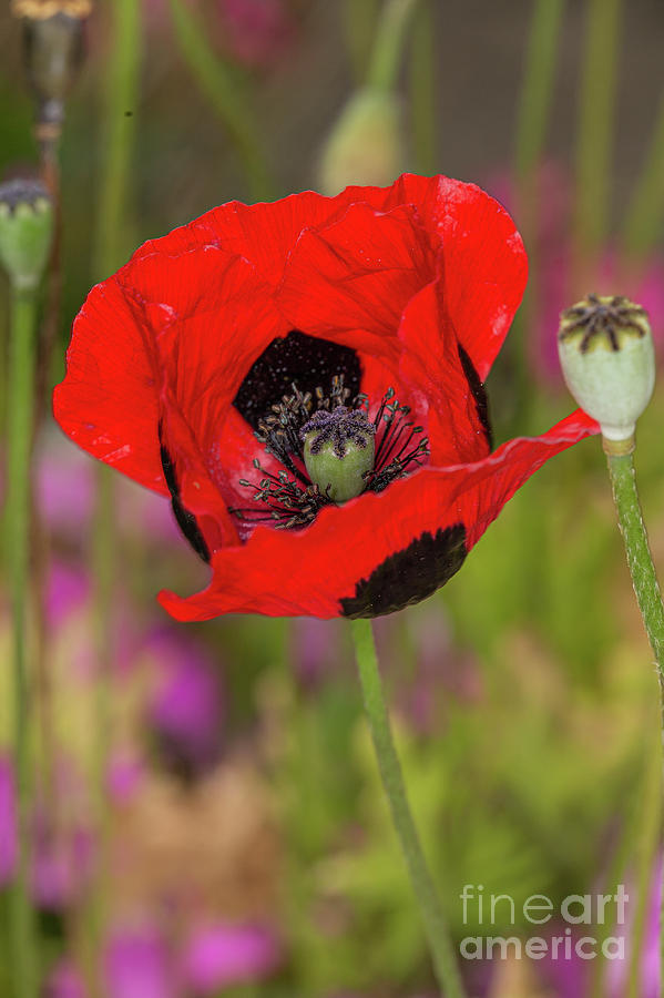 ladybird poppy by Brian Roscorla