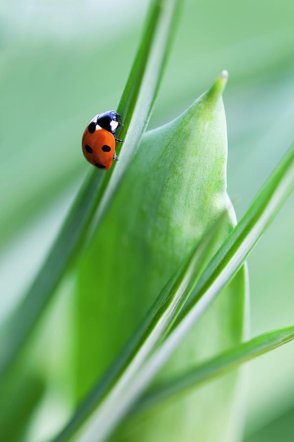 Ladybug Photograph by Andrew Dernie