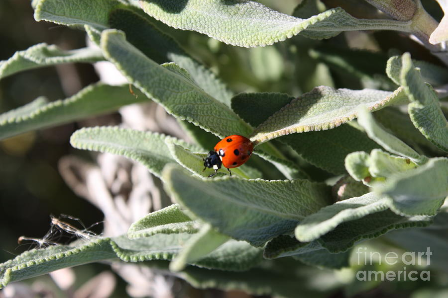 Ladybug in the Sage Leaves by Carol Groenen