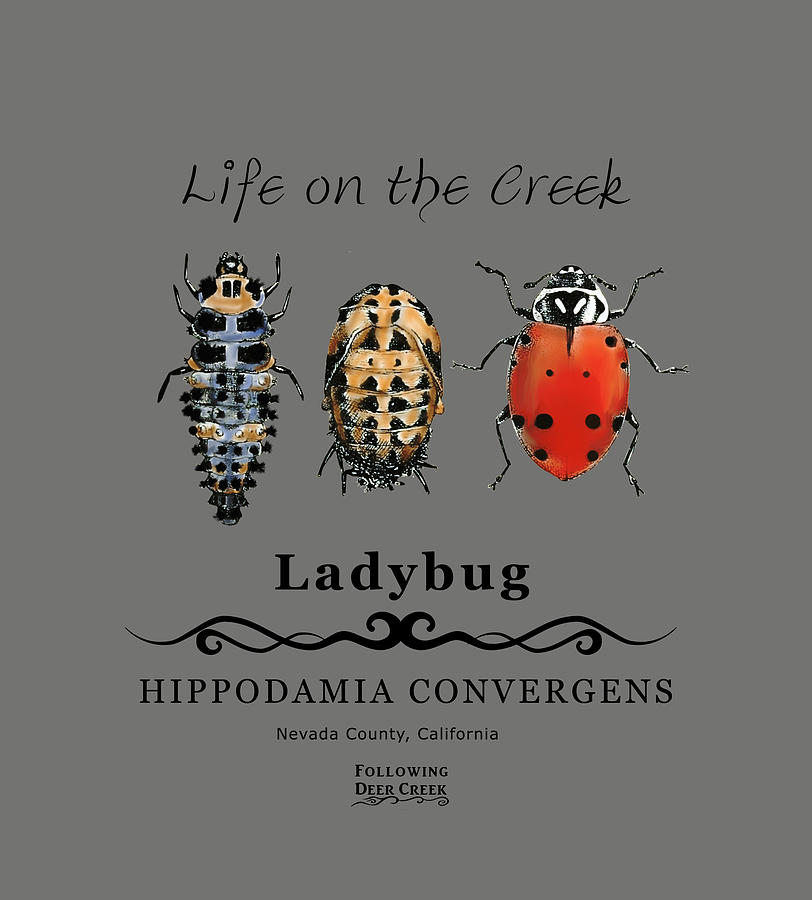 Ladybug Life Cycle by Lisa Redfern