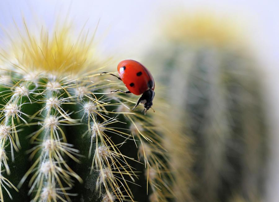 Ladybug On Cactus Photograph by  Ta