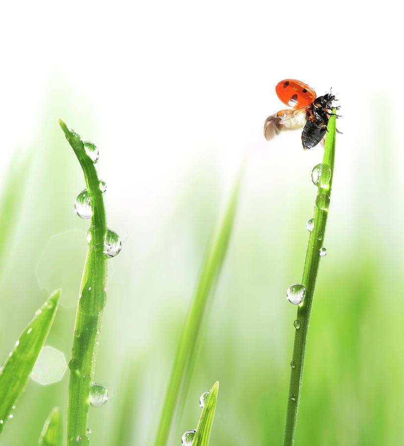 Ladybug On Green Grass Photograph by Sbayram