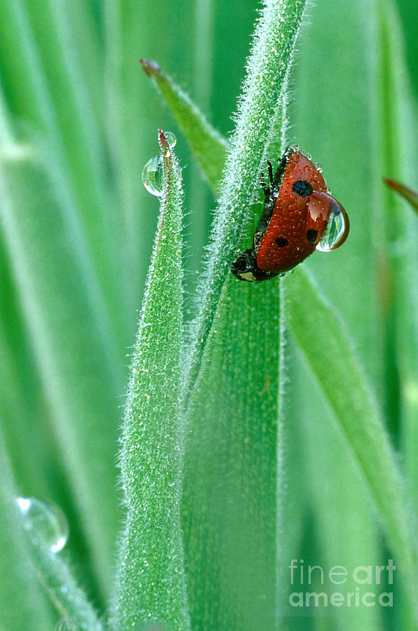 Drop Photograph - Ladybug With Large Dew Droplet On Back by Marc Parsons