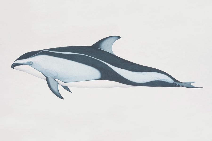 Lagenorhynchus Obliquidens, Pacific Digital Art by Martin Camm