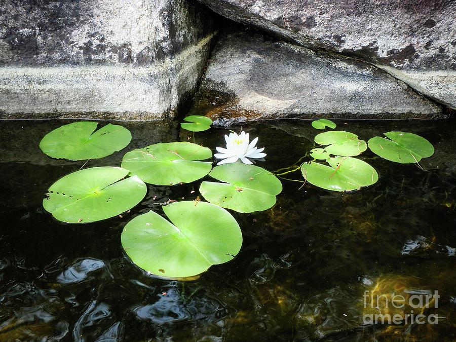Lake Bloomer by Lori Dobbs