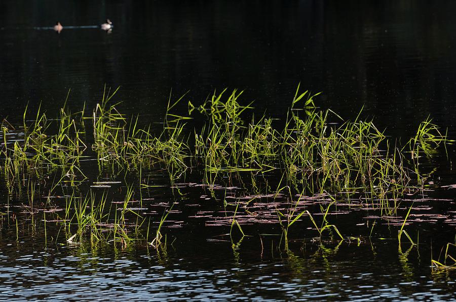 Lake Grass by Robert Potts