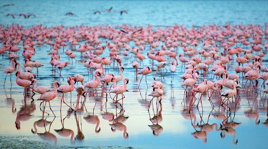 Tranquility Photograph - Lake Nakaru Flamingoes by Grant Faint
