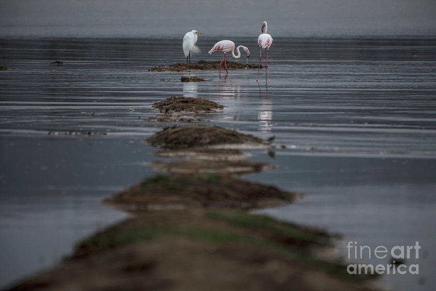 Lake Nakuru Flamingos - egret by Steve Somerville
