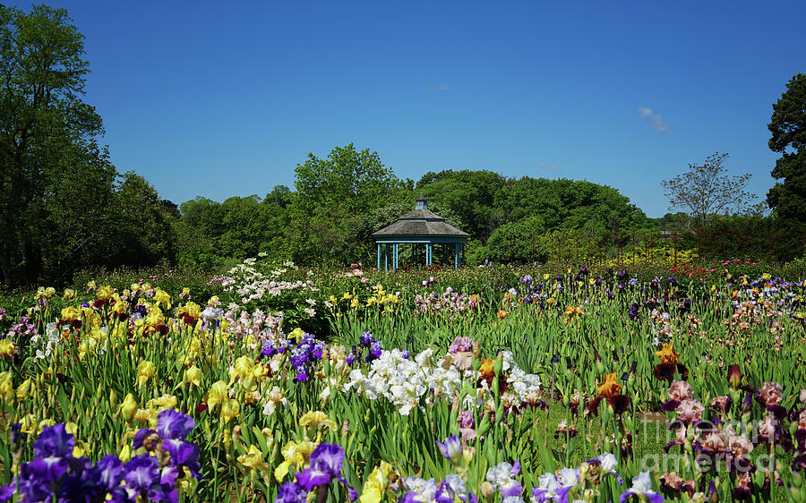 Laking Garden Irises Photograph