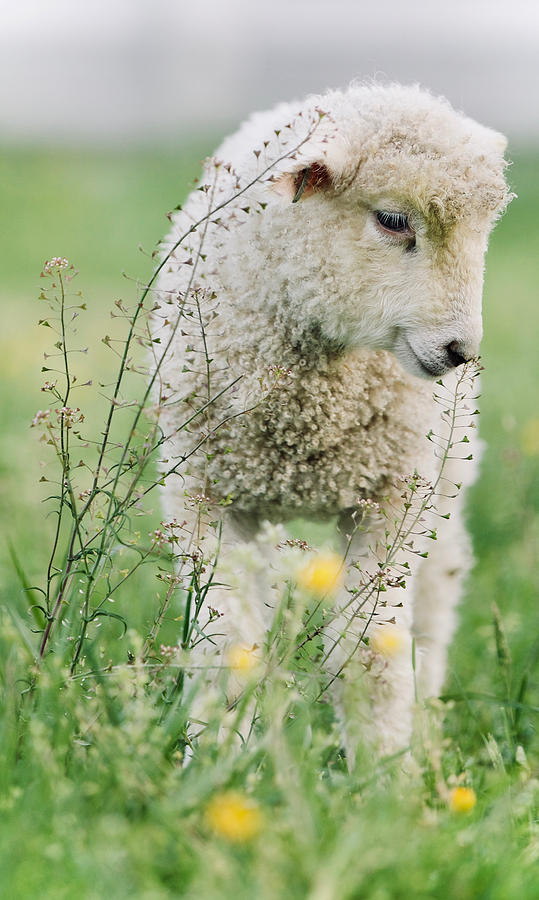 Lamb and Wildflowers by Rachel Morrison