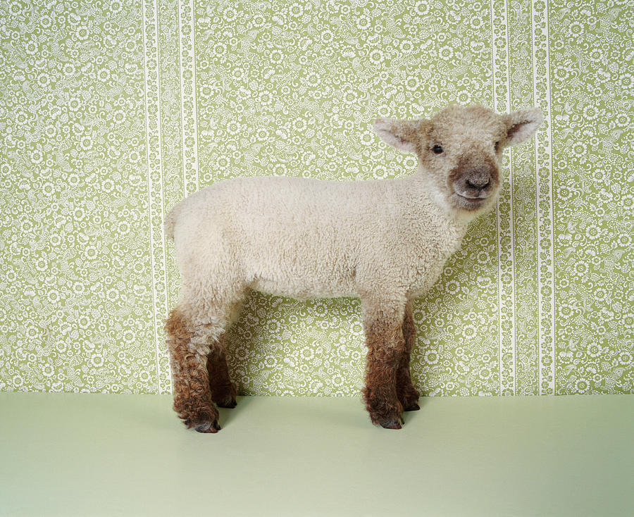 Lamb Standing Indoors, And Floral Photograph by Digital Vision.
