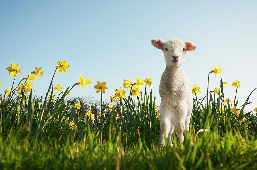 Lamb Walking In Field Of Flowers Photograph by Peter Mason