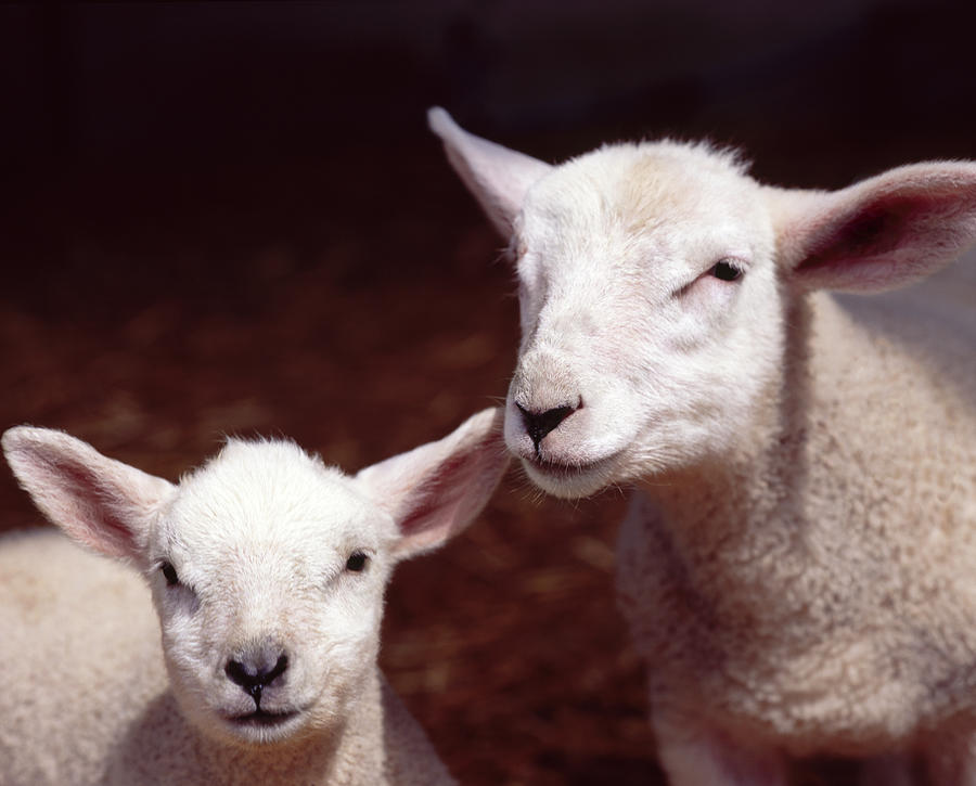 Lambs Photograph by Adrian Burke