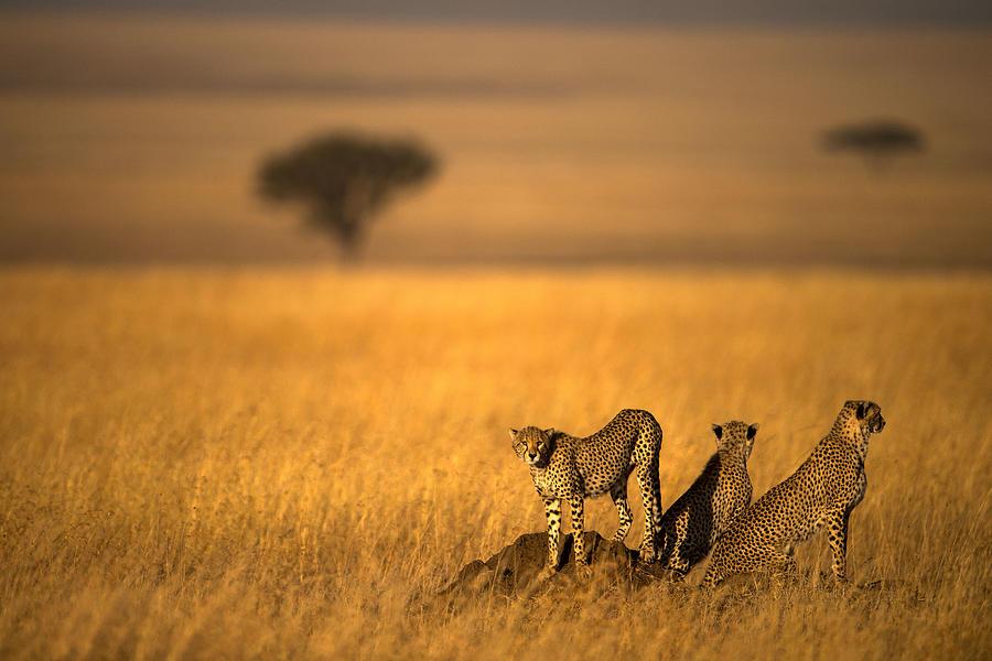 Wild Photograph - Landsape Of Cheetah by Bahaadeen Al Qazwini