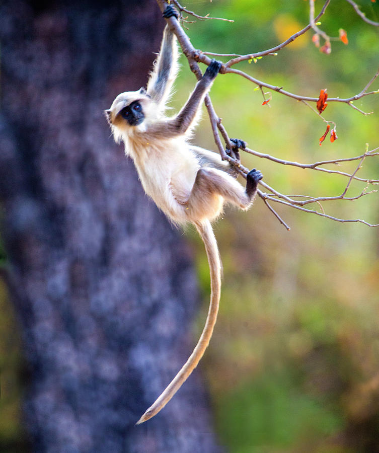 Langur Monkey Hanging On Tree Branch Photograph By Panoramic Images