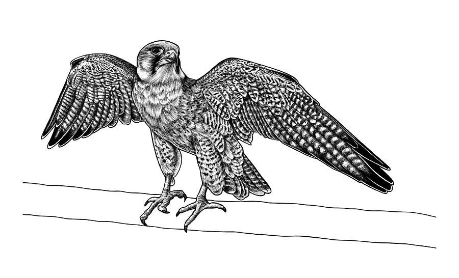 Falcon Drawing - Lanner falcon by Loren Dowding