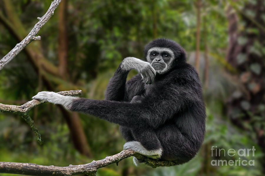 Lar Gibbon by Arterra Picture Library