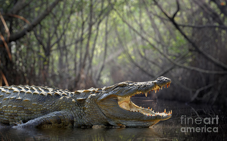 Alligator Photograph - Large Crocodile, National Park, Sri by Volodymyr Burdiak