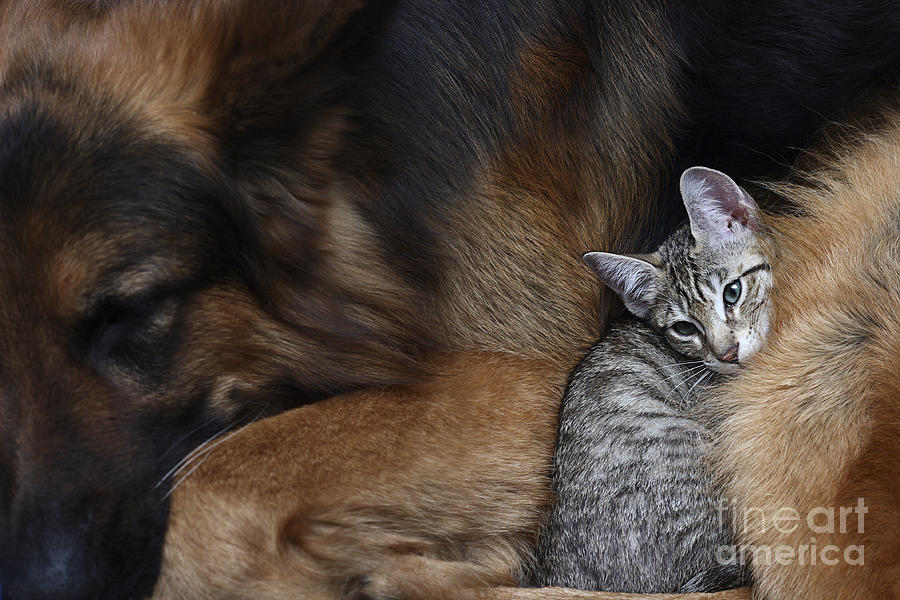 Love Photograph - Large Dog And A Cat by Valentina Razumova
