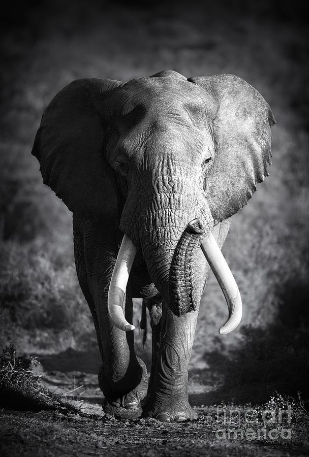 Big Photograph - Large Elephant Bull Approaching by Johan Swanepoel