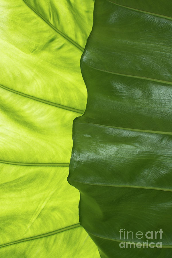 Large Green Leaf With Veins Photograph