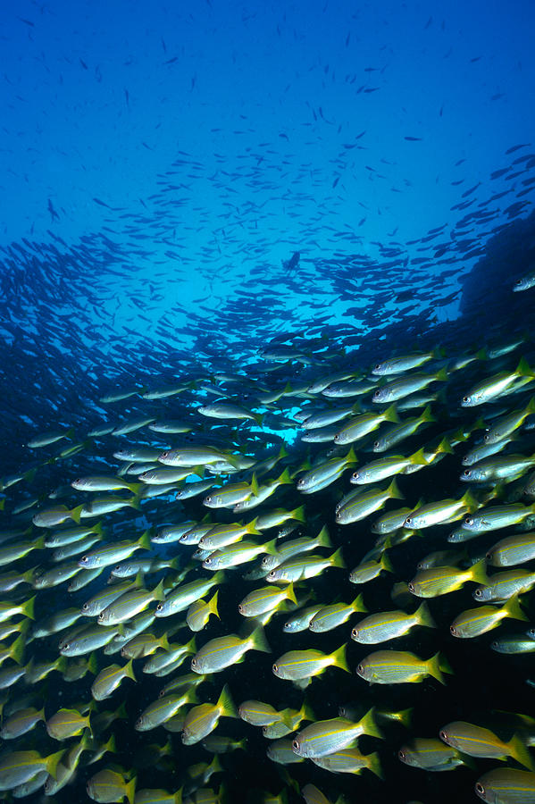 Large Group Of Bigeye Snapper Fish Photograph by Mixa