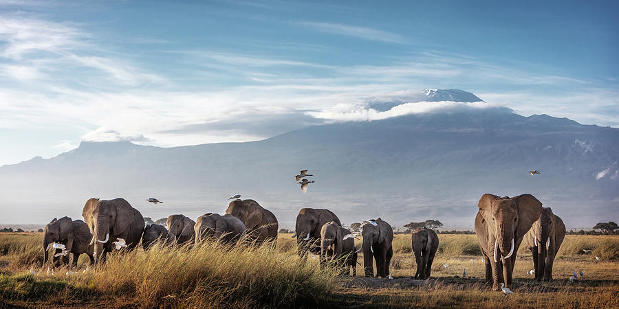 Large Herd of African Elephants in Front of Kilimanjaro by Susan Schmitz