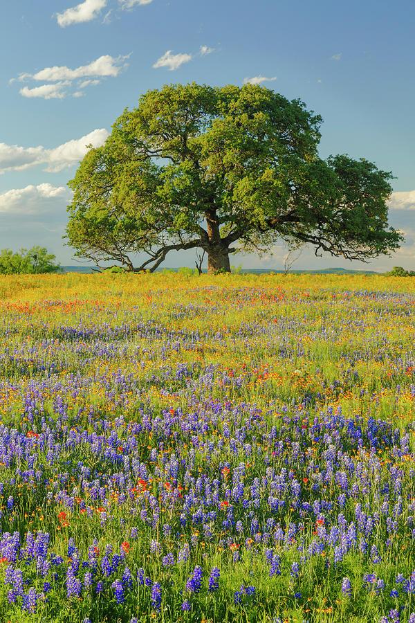 Adam Jones Photograph - Large Oak Tree In Expansive Meadow by Adam Jones