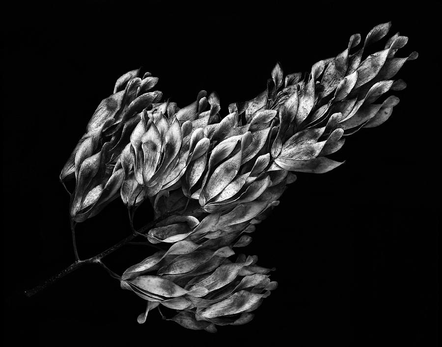 Large Seed Pod Cluster Photograph