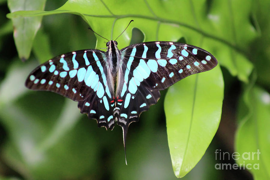 Butterfly Photograph - Large Striped Swordtail Butterfly 2019 by Karen Adams