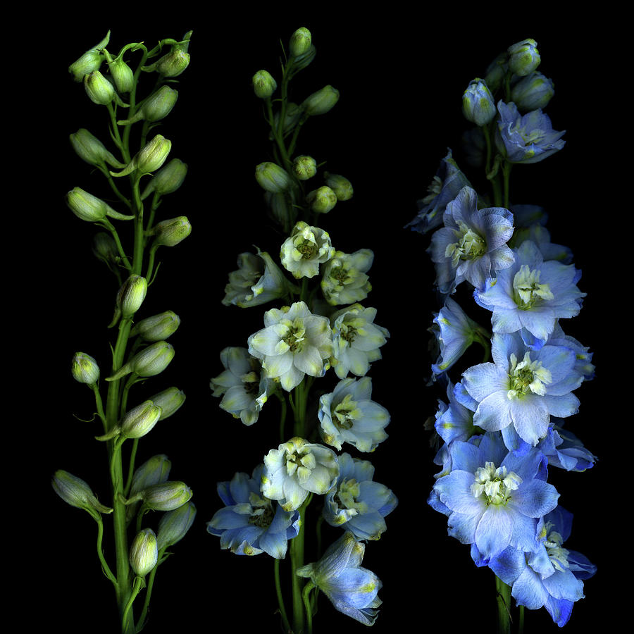 Larkspur From Bud To Flower Photograph by Photograph By Magda Indigo