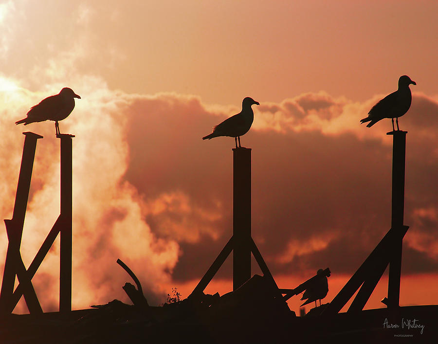 Seagull Photograph - Larry Moe And Curly by Aaron Whitney