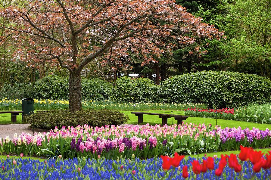 Late Bloom of Sakura Tree in Keukenhof by Jenny Rainbow