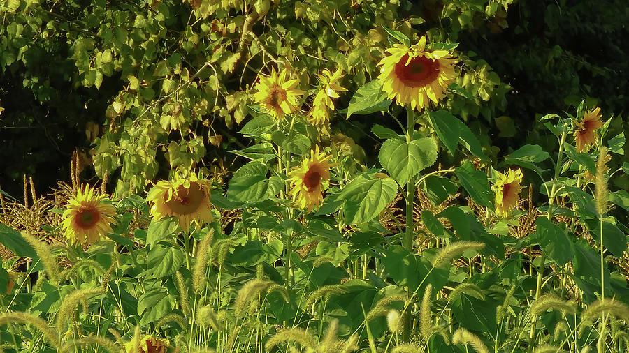 Late Summer Sunflowers  by Kristin Hatt