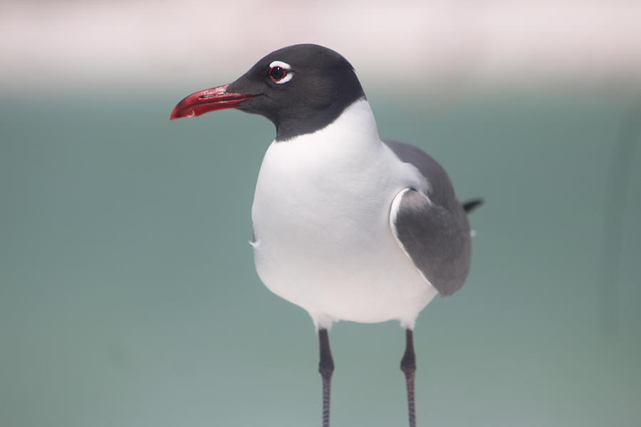 Bird Photograph - Laughing Gull by Callen Harty