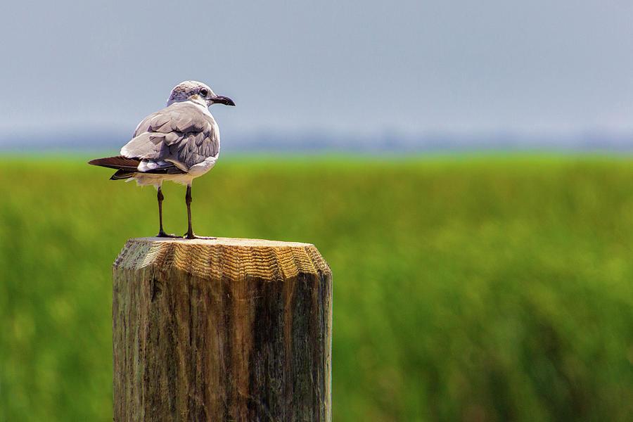 Bird Photograph - Laughing Gull by Randy Bayne