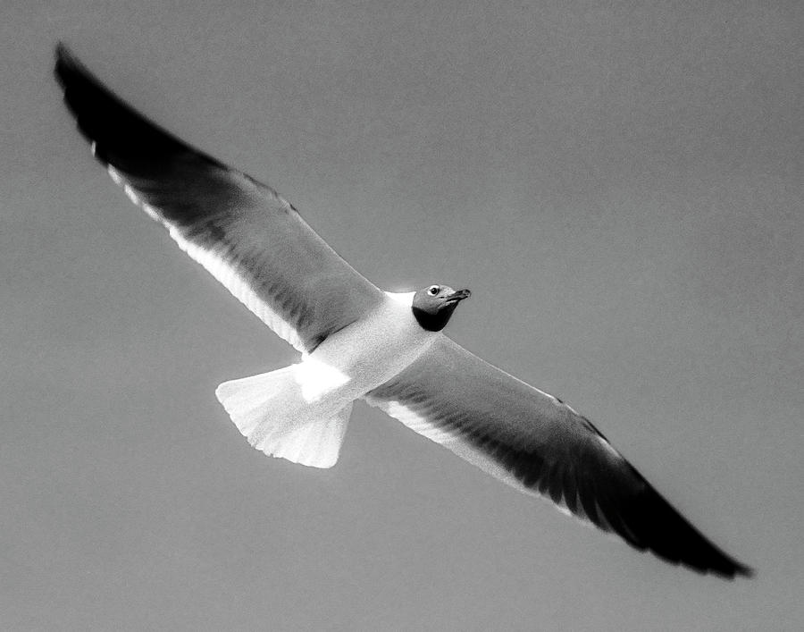 Laughing Seagull Photograph