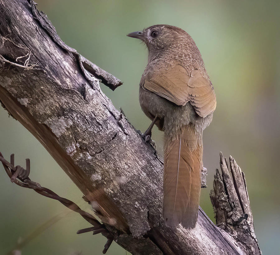 Laughingthrush by Lee Alloway