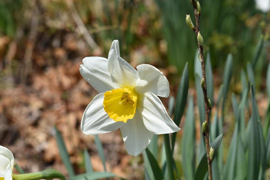 Laurel Ridge Daffodil 1 by Nina Kindred