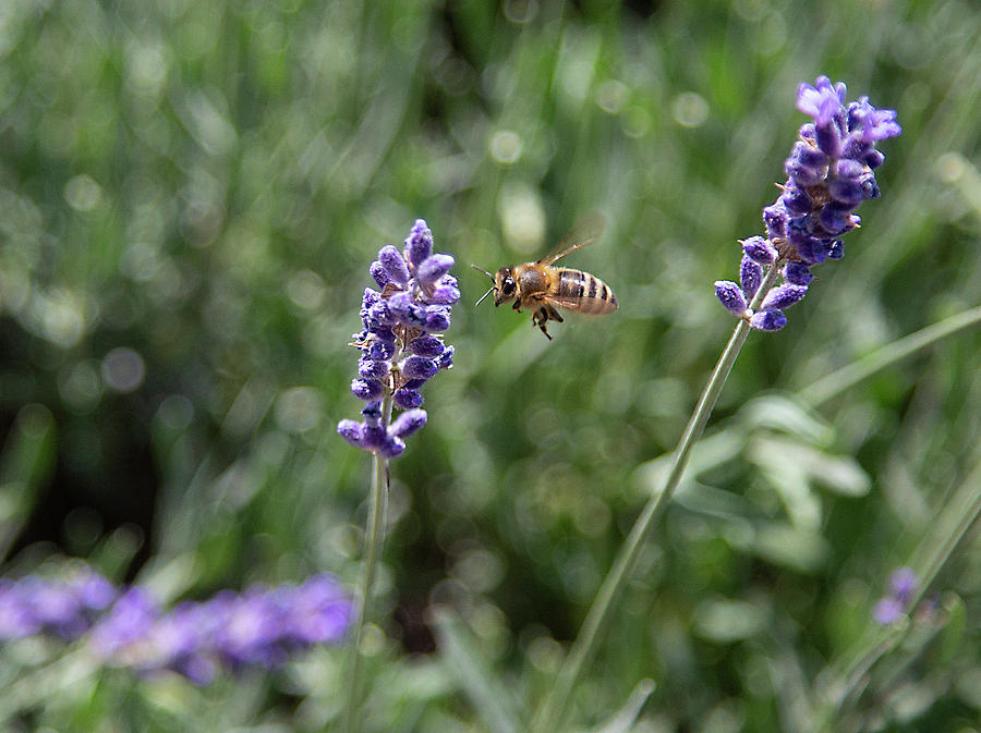 Lavender and a Bee by Dart Humeston