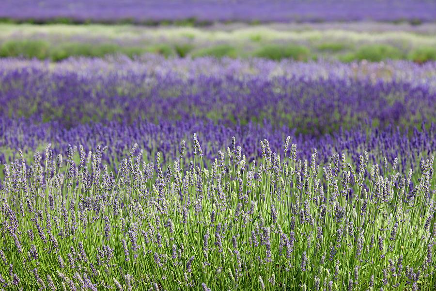 Lavender Photograph by Andrew Dernie