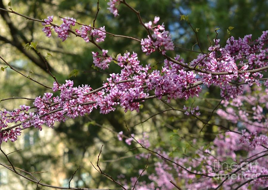 Lavender Blooming Tree Central Park In Spring Photograph By