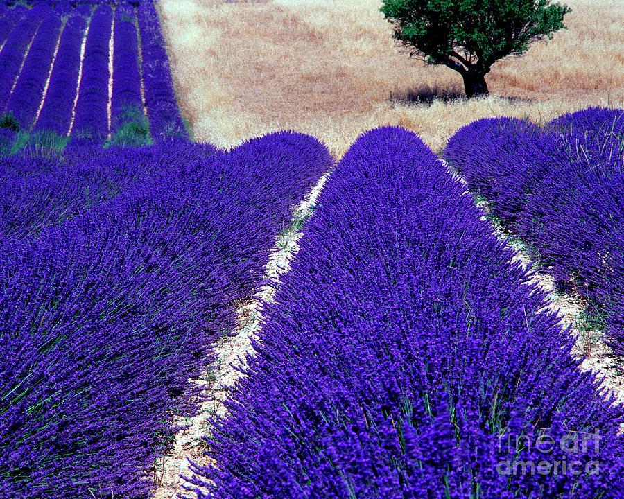 Lavender Blue by Edmund Nagele