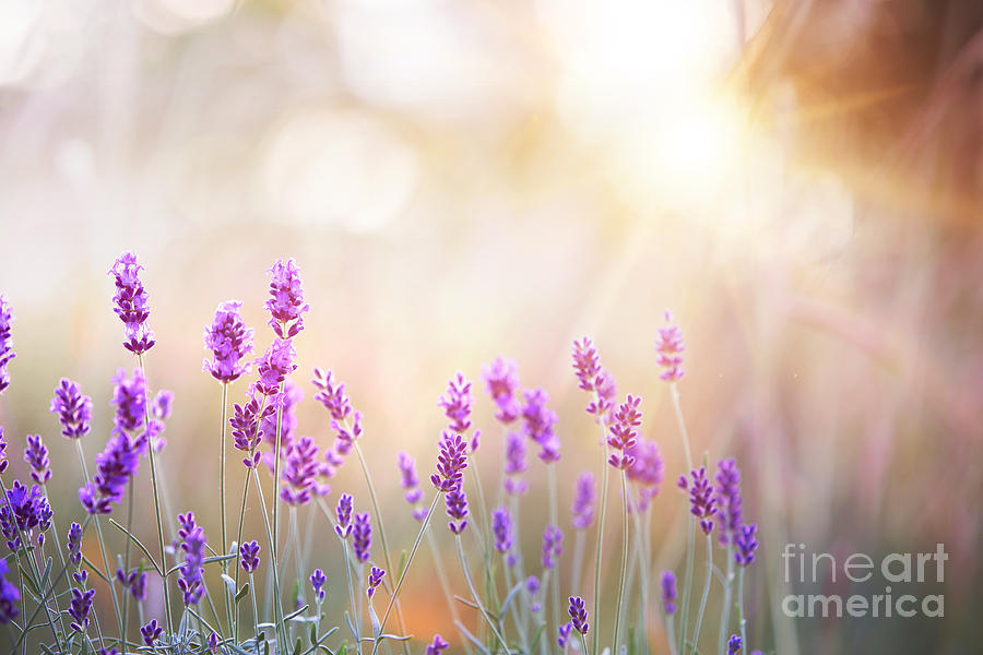 Fragrant Photograph - Lavender Bushes Closeup On Sunset by Kotkoa