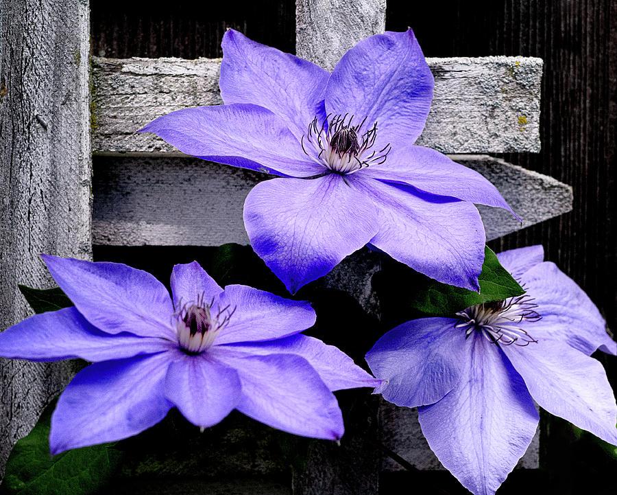 Lavender Clematis on Vine by Julie Palencia